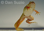Bullfrog, Rana catesbeiana, tadpole transforming into frog with right hind leg missing