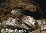 Gray rat snake, Elaphe obsoleta spiloides