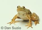 American Bullfrog, Rana catesbeiana