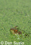 American bullfrog, Rana catesbeiana, and duckweed, Lemna sp.