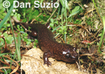 California giant salamander, Dicamptodon ensatus  
