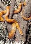 Corn snake, Elaphe guttata guttata.  Native to Southeastern United States. Amelanistic variety, sometimes called red albino, lacks black pigment.