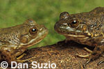 American bullfrogs, Rana catesbeiana, Northern California. Native to the Eastern United States, bullfrogs were introduced and have become established west of the Rockies. Bullfrogs are large, aggressive predators and prolific breeders, and have been a factor in declining native frog populations in many areas of the West. 