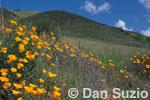 California poppies, Eschscholzia californica.  Mt. Diablo State Park, California