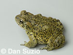 California toad (Western toad), Bufo boreas halophilus.  Eel River, Mendocino County, California