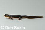 Rough-skinned newt, Taricha granulosa.  Eel River, Mendocino County, California