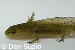 Rough-skinned newt, Taricha granulosa, in larval stage.  Eel River, Mendocino County, California