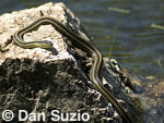 Santa Cruz garter snake, Thamnophis atratus atratus, Mount Diablo State Park, California