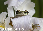 Pacific treefrog (Pacific chorus frog), Hyla regilla (Pseudacris regilla) on Douglas iris, Iris douglasiana
