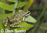 Pacific treefrog (Pacific chorus frog), Hyla regilla (Pseudacris regilla), on deer fern, Blechnum spicant