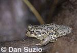 Amargosa toad, Bufo nelsoni.  Oasis Valley, near Beatty, Nevada.