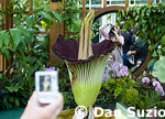 Titan arum, Amorphophallus titanum, blooming at the Conservatory of Flowers in Golden Gate Park, San Francisco, California, in May 2005.  Native to Sumatra, it is also known as the corpse flower because of its putrid smell, which attracts insect pollinators.  The &quot;flower&quot; is actually a cluster of hundreds of smaller flowers which together reach a height of up to nine feet, making it the largest reproductive organ of any plant in the world.