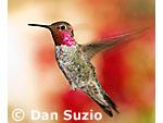 Male Anna's hummingbird, Calypte anna. Santa Cruz Mountains, California