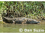 American crocodile, Crocodylus acutus, basking at the edge of the Tarcoles River, Costa Rica