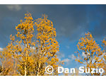 Quaking aspen, Populus tremuloides, near Carson Pass, Sierra Nevada Mountains, California