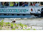 Yellow-headed caracara, Milvago chimachima, stands on shore as a tour boat passes. Tarcoles River, Costa Rica