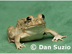Rice paddy frog, Fejervarya sp., from the Baucau district of Timor-Leste (East Timor)