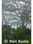 Rainforest, in the mountains south of Dili, Timor-Leste (East Timor)