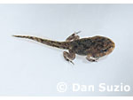 Tadpole of black-spined toad, Duttaphrynus melanostictus, with four legs.  Manatuto District, Timor-Leste (East Timor).