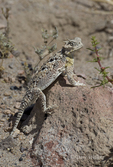 437800015 a wild southern desert horned lizard phrynosoma platyrhinos calidiarum suns on a large rock in mono county california. Extensive coverage of a wide range of reptile, amphibian and other wildlife species, all identified by Latin name.
