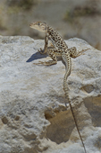 437880013 a wild long-nosed leopard lizard gambelia wislizenii sits on a rock along fish slough road in mono county california. Extensive coverage of a wide range of reptile, amphibian and other wildlife species, all identified by Latin name.