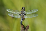 389350006 a wild male four spotted skimmer libellula quadrimaculata perches on a flower stem in modoc county california. Extensive coverage of a wide range of insect and other wildlife species, all identified by Latin name.