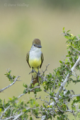 530070020 a wild brown-crested flycatcher myiarchus tyrannulus cooperi perches in a small shrub on santa clara ranch starr county texas united states. extensive coverage of a wide range of avian and other wildlife species, all identified by latin name.