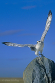 540750003v a captive falconers raptor a white morph gyrfalcon falco rusticolus takes flight from a large boulder in central colorado. extensive coverage of a wide range of avian and other wildlife species, all identified by latin name.