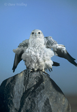 540750007 a captive adult gyrfalcon falco rusticolis perches on a boulder while rousting its feathers in central colorado. extensive coverage of a wide range of avian and other wildlife species, all identified by latin name.
