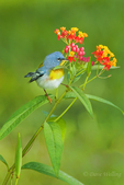 561000042 a wild male northern parula warbler setophaga americana - was parula americana perches on a blooming butterfly weed plant asclepias tuberosa on south padre island cameron county texas. extensive coverage of a wide range of avian and other wildlife species, all identified by latin name.