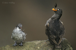 506720323 a wild crested auklet crista tella and least auklet aethia pusilla perch on a rocky cliff face on saint george island in the pribilof islands off the southwest coast of alaska. extensive coverage of a wide range of avian and other wildlife species, all identified by latin name.