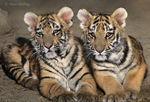 683999158 two six month old bengal tiger cub siblings panthera tigris pose together in their enclosure at a wildlife rescue facility - species is native to the indian subcontinent and is highly endangered in the wild. extensive coverage of a wide range of mammal and other wildlife species, all identified by latin name.