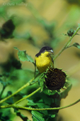 537160005 a wild male lesser goldfinch cadruelis psaltris perches on a dried sunflower blossom in the rio grande valley of south texas. extensive coverage of a wide range of avian and other wildlife species, all identified by latin name.