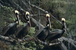 570007662 four wild adult brown pelicans pelecanus occidentalis in winter plumage perch on a large dead branch in santa barbara county california. extensive coverage of a wide range of avian and other wildlife species, all identified by latin name.