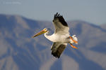 570040015 a wild white pelican pelecanus erythrorhynchos flies over the salton sea national recreation area in southern california. extensive coverage of a wide range of avian and other wildlife species, all identified by latin name.