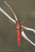 362650002 a wild female cardinal meadowhawk sympetrum illotum perches on a dead stick over piru creek angeles national forest los angeles county california. extensive coverage of a wide range of insect and other wildlife species, all identified by latin name.