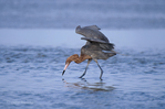 525100007 a wild reddish egret egretta rufescens fishes in the gulf waters along the south padre island coast texas. extensive coverage of a wide range of avian and other wildlife species, all identified by latin name.