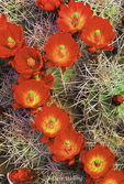 115750001 wild blooming claretcup cactus echinocereus triglochidatus with brilliant red flowers in escalante grand staircase national park utha . extensive coverage of a wide range of flora and fauna species, all identified by latin name.
