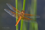 389310026 a wild male flame skimmer libellula saturata perches on a cat-tail reed over cosa pond 2 in bishop california. extensive coverage of a wide range of insect and other wildlife species, all identified by latin name.
