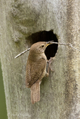 598100011 a wild house wren troglodytes aedon perches at a nest cavity hole in a large tree with nesting material in a forested area near yakima washington. extensive coverage of a wide range of avian and other wildlife species, all identified by latin name.