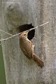 598100012 a wild house wren troglodytes aedon perches at a nest cavity hole in a large tree with nesting material in a forested area near yakima washington. extensive coverage of a wide range of avian and other wildlife species, all identified by latin name.