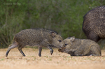 650520321 wild javelinas or collared peccaries dicolytes tajacu forage near a waterhole on santa clara ranch in starr county rio grande valley texas united states. extensive coverage of a wide range of mammal and other wildlife species, all identified by latin name.