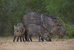 650520322 wild javelinas or collared peccaries dicolytes tajacu forage near a waterhole on santa clara ranch in starr county rio grande valley texas united states. extensive coverage of a wide range of mammal and other wildlife species, all identified by latin name.