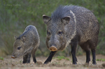 650520323 wild javelinas or collared peccaries dicolytes tajacu forage near a waterhole on santa clara ranch in starr county rio grande valley texas united states. extensive coverage of a wide range of mammal and other wildlife species, all identified by latin name.