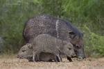 650520324 wild javelinas or collared peccaries dicolytes tajacu forage near a waterhole on santa clara ranch in starr county rio grande valley texas united states. extensive coverage of a wide range of mammal and other wildlife species, all identified by latin name.