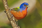 510440113 Painted Bunting Passerina ciris WILD; Male Perched on Branch; Rio Grande Valley, Texas. Extensive coverage of a wide range of avian and other wildlife species, all identified by Latin name.
