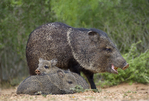 650520325 wild javelinas or collared peccaries dicolytes tajacu forage near a waterhole on santa clara ranch in starr county rio grande valley texas united states. extensive coverage of a wide range of mammal and other wildlife species, all identified by latin name.