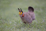 572110239 a wild male lesser prairie chicken tympanuchus pallidicintus displays and struts on a lek on a remote ranch near canadian in the texas panhandle. extensive coverage of a wide range of avian and other wildlife species, all identified by latin name.