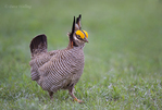 572110240 a wild lesser prairie chicken tympanuchus pallidicintus displays and struts on a lek on a remote ranch near canadian in the texas panhandle. extensive coverage of a wide range of avian and other wildlife species, all identified by latin name.