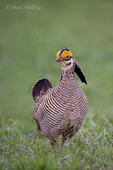 572110241 a wild lesser prairie chicken tympanuchus pallidicintus displays and struts on a lek on a remote ranch near canadian in the texas panhandle. extensive coverage of a wide range of avian and other wildlife species, all identified by latin name.